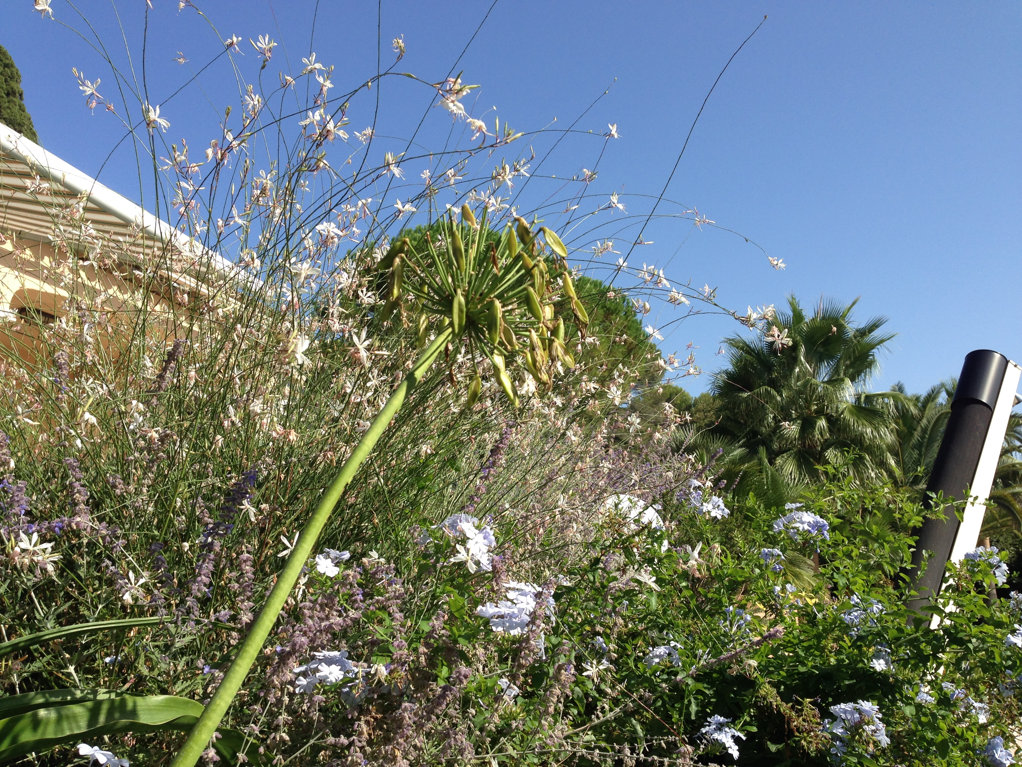 Gaura and Agapanthus dancing to the same rhythm in the light breeze